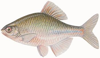 Naturinfo fauna fische artbeschreibungen bitterling for Bitterlinge fische