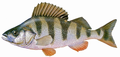 Naturinfo fauna fische artbeschreibungen egli for Lebensraum fische
