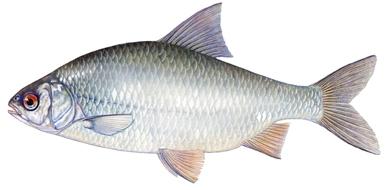 Naturinfo fauna fische artbeschreibungen rotauge for Fische in teichen