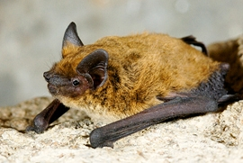 Weissrandfledermaus (Pipistrellus kuhlii)