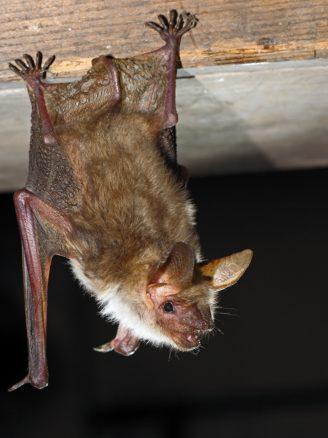Foto zum Link «Fledermäuse»